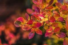 Bunte Blätter der Heidelbeere im Garten Stockbilder