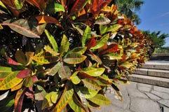 Bunte Blätter der Stechpalme Lizenzfreies Stockbild