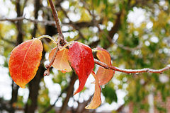 Bunte Blätter im Eis Lizenzfreie Stockfotografie