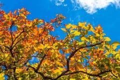 Bunte Blätter im Herbst mit blauem Himmel Lizenzfreie Stockfotografie