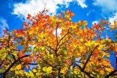 Bunte Blätter im Herbst mit blauem Himmel Lizenzfreie Stockbilder