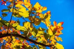 Bunte Blätter im Herbst mit blauem Himmel Stockbild