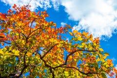 Bunte Blätter im Herbst mit blauem Himmel Stockfotografie