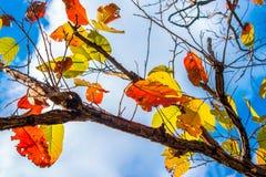 Bunte Blätter im Herbst mit blauem Himmel Stockfotos