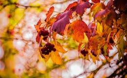 Bunte Blätter und rote Beeren im Herbst Lizenzfreie Stockfotografie