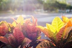 Bunte Blätter von Codiaeum variegatum Stockfoto