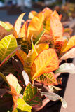 Bunte Blätter von Codiaeum variegatum Lizenzfreies Stockbild