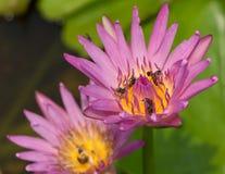 Bunte blühende rosa Seerose mit Biene versucht, NEC zu halten Stockfotos