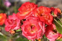 Bunte blühende Rosen auf weißem Hintergrund lizenzfreies stockfoto
