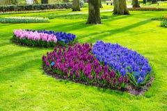 Bunte blaue, purpurrote, lilic, rosa Hyazinthe blüht Blüte im niederländischen Frühlingsgarten Stockfotografie