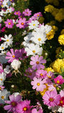 Bunte Blume stockfotos