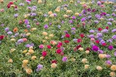 Bunte Blume des allgemeinen Purslane im Garten stockbild
