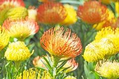 Bunte Blume, die mit gr?nem Blatthintergrund bl?ht lizenzfreies stockbild