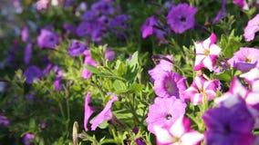 Bunte Blume im Garten stock video footage