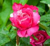 Bunte Blume mit Tropfenwasser lizenzfreies stockbild