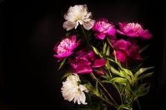 Bunte Blumen auf schwarzem Hintergrund - bunte Pfingstrosen Stockfotos