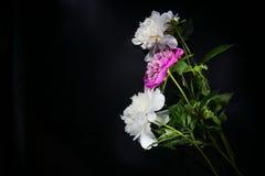 Bunte Blumen auf schwarzem Hintergrund - bunte Pfingstrosen Stockfotografie
