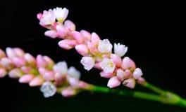 Bunte Blumen-Blüte lokalisiert auf schwarzem Hintergrund Stockfotografie