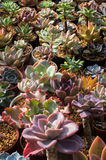 Bunte Blumen des Kaktus Lizenzfreie Stockfotografie