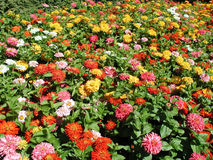 Bunte Blumen im Garten Stockbilder