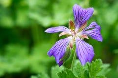 Bunte Blumen im Sommer arbeiten, für Hintergrund, Iris im Garten Lizenzfreie Stockfotos