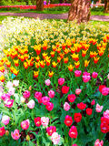 Bunte Blumen in Keukenhof Stockfoto