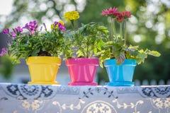 Bunte Blumentöpfe auf Spitzetischdecke in der Sommersonne Lizenzfreie Stockfotografie