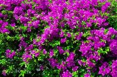 Bunte Bouganvillablumen im rosa Farbblühen Lizenzfreies Stockbild