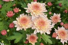 Bunte Chrysantheme der Nahaufnahme sind faszinierend stockfoto
