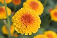 Bunte Chrysantheme der Nahaufnahme sind faszinierend Stockbild