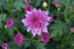 Bunte Chrysantheme der Nahaufnahme sind faszinierend stockfotografie