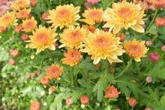 Bunte Chrysantheme der Nahaufnahme sind faszinierend lizenzfreies stockbild
