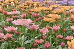 Bunte Chrysantheme der Nahaufnahme sind faszinierend stockfotos