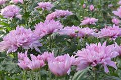 Bunte Chrysantheme der Nahaufnahme sind faszinierend lizenzfreies stockfoto
