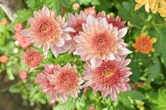Bunte Chrysantheme der Nahaufnahme sind faszinierend lizenzfreie stockfotos