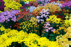 Bunte Chrysanthemeblumen Stockbild