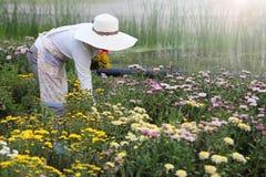 Bunte Chrysanthemenblume des Gärtnerausschnitts im Garten während der Erntezeit lizenzfreies stockbild