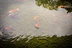 Bunte coi Karpfenfische, die im Teich schwimmen lizenzfreie stockfotos