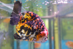 Bunte dekorative Fische Lizenzfreies Stockfoto