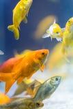 Bunte dekorative Fische Stockbilder