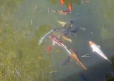 Bunte dekorative Fische schwimmen in einen künstlichen Teich Lizenzfreie Stockfotografie
