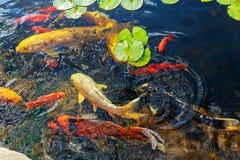 Bunte dekorative Fische schwimmen in einen künstlichen Teich, Ansicht von oben Lizenzfreies Stockfoto