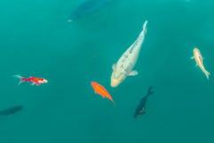 Bunte dekorative Fische schwimmen in einen künstlichen Teich, Ansicht von oben Lizenzfreie Stockbilder