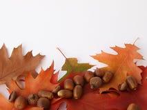 Bunte Eichenblätter mit Eicheln Lizenzfreie Stockbilder