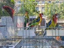 Bunte eingesperrte Sittiche am Vogelmarkt in Paris, Frankreich Lizenzfreies Stockbild