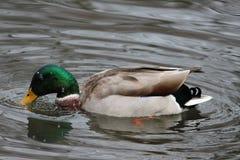 Bunte Entenschwimmen im Teich Stockfotografie