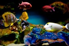 Bunte exotische Fische, die in den tropischen Fischen sind Stockfotos