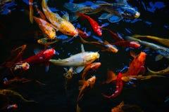 Bunte exotische koi Fische in einer Fütterungsraserei lizenzfreie stockfotos