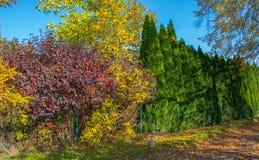 Bunte Fallbüsche und grüne thujas, das um den Zaun wie eine Hecke wächst lizenzfreie stockfotografie
