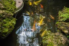 Bunte fantastische Karpfenfische, koi Fische im Garten lizenzfreie stockfotografie